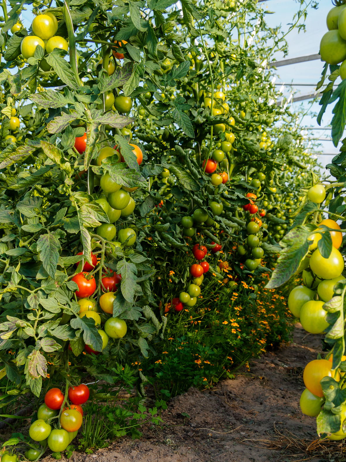 Tomatenpflanzen mit reifen und unreifen Früchten in Gewächshaus